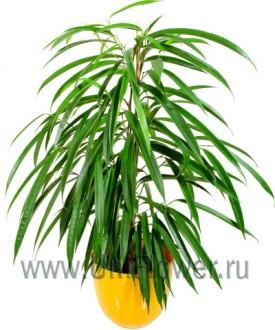 Фикус - Цветущие комнатные растения и цветы