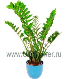 Замиокулкас - Цветущие комнатные растения и цветы