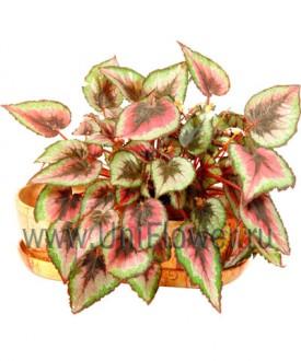 Бегония - Цветущие комнатные растения и цветы