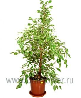 Фикус Бенджамина - Цветущие комнатные растения и цветы