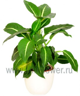 Диффенбахия - Цветущие комнатные растения и цветы