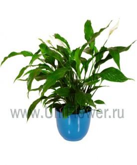 Спатифиллум - Цветущие комнатные растения и цветы