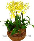 Орхидеи онцидиум