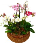 Бело-розовые орхидеи
